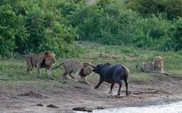 24h qua ảnh: Trâu rừng chết thảm vì cả gan đối đầu sư tử