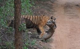24h qua ảnh: Báo đốm con chết thảm dưới nanh vuốt của hổ
