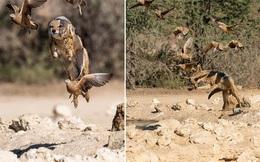 24h qua ảnh: Chó rừng tung tuyệt kỹ phi thân săn gà cát