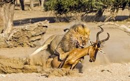 24h qua ảnh: Thót tim cảnh sư tử truy sát linh dương
