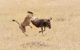 24h qua ảnh: Báo gấm tung đòn hạ gục linh dương đầu bò
