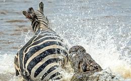 24h qua ảnh: Khoảnh khắc ngựa vằn thoát khỏi miệng cá sấu