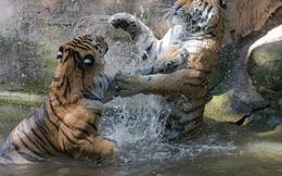 24h qua ảnh: Cặp hổ dữ đánh nhau ác liệt dưới nước