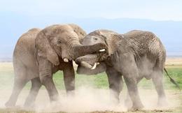 7 ngày qua ảnh: Cặp voi đực khổng lồ quyết đấu giành quyền cai trị