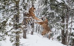 24h qua ảnh: Cặp hổ dữ quyết chiến tranh bạn tình trong rừng tuyết