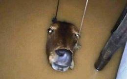 Đôi mắt chú bò lay động lòng người trong trận lụt kinh hoàng ở miền Trung