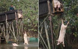 """Nghe thật """"điên khùng"""" nhưng việc đàn lợn này phải làm mỗi ngày đáng nể lắm đấy!"""