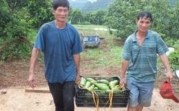 Dân Sơn La hái ra tiền từ các loại cây ăn quả, xuất hiện 'tỷ phú xoài'