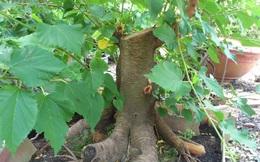Nếu trước cửa hay trong vườn nhà có cây này, tốt nhất hãy chặt ngay cho lành!