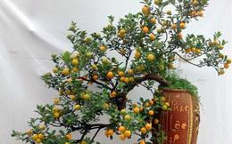 """Chiêm ngưỡng quất bonsai thế độc nhất vô nhị giá """"trên trời"""""""