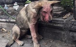 Chú chó ghẻ bị bỏ rơi ở Long Biên và hình ảnh thay đổi ngoạn mục sau nhiều tháng