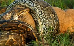 Cú đớp chí mạng của loài trăn lớn nhất thế giới tiễn linh dương về cõi chết trong tích tắc