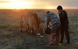 """Putin lại """"đốt mắt"""" fan hâm mộ với chùm ảnh chăm sóc ngựa hoang"""