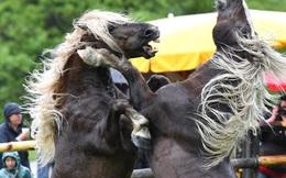24h qua ảnh: Cặp ngựa đực quyết chiến tranh ngôi đầu đàn