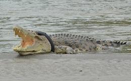 Cá sấu khổng lồ quằn quại, thở không ra hơi vì mắc kẹt cứng trong lốp xe máy cũ