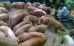 Cả đàn lợn bị văng ra đường khi xe tải bị lật