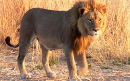 Đừng dữ dằn như sư tử, nhưng cách xử trí của nó trong câu chuyện dưới đây thì nên học