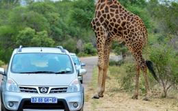 """24h qua ảnh: Kỳ lạ hươu cao cổ """"không đầu"""" ở Nam Phi"""