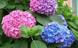 10 loại hoa đẹp trồng trong nhà chứa chất độc