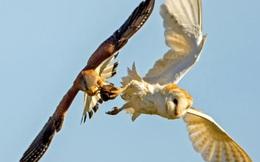 24h qua ảnh: Chim cắt đột kích cướp trắng mồi của cú