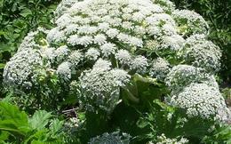 Phát hiện loài hoa tuyệt đẹp nhưng có thể gây mù mắt ở người!