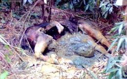 Phát hiện xác con bò tót gần 1 tấn đang phân huỷ trong rừng