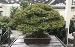 Tuyệt vời thay sức sống bonsai: cây thông trắng này đã 391 tuổi, vẫn sống khỏe dù trải qua thảm họa nguyên tử Hiroshima