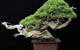[Video] Ma thuật gì đã giúp cây bonsai này biết bay?