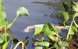 """Quảng Trị: Cá chết trắng vì suối bị """"đầu độc"""" bằng hạt thàn mát"""