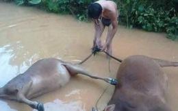[ẢNH] Hàng loạt trâu, bò chết trong lũ dữ ở miền Trung