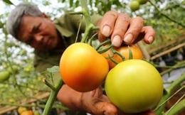 Giá cà chua tăng gấp 3 lần vì dịch bệnh hoành hành
