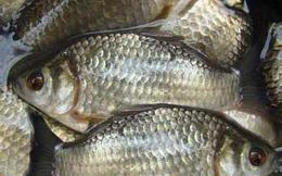 Đây là lý do tuyệt vời để bạn chọn cá diếc làm món ăn ưu tiên