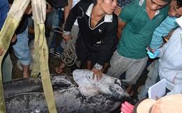 Câu được cá ngừ đại dương vây xanh khủng nặng 307 kg