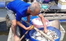 """Hàng trăm tấn cá nuôi lồng """"chết oan"""" vì... Formosa"""