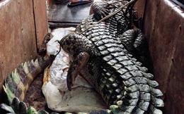 Truy tìm nguồn gốc của con cá sấu nặng hơn 70kg trong đầm Vân Trì