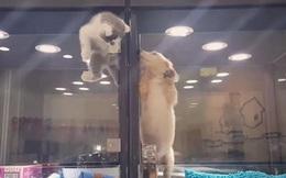 Quá thương nhớ tri kỷ chuồng bên, mèo con đã làm điều không ai ngờ tới