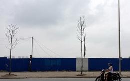 Cây Hà Nội mới trồng chết khô hàng loạt