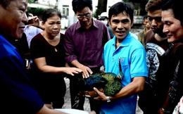 Chim khổng tước lạc vào nhà dân ở Sài Gòn kiệt sức vì đói