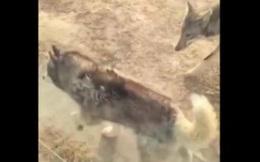 Cái kết chó Husky sống chung với chó sói để mua vui
