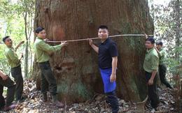 """61 cây """"khổng lồ"""" ở Nghệ An được công nhận là cây di sản Việt Nam"""