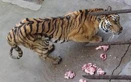 Phẫn nộ vườn thú để hổ chết đói, bán rượu ngâm xương