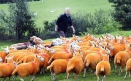 Sự thật bất ngờ phía sau đàn cừu màu cam kỳ lạ nhất quả đất