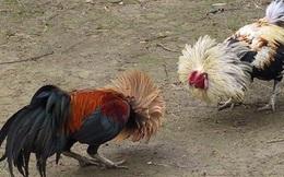 Triệt phá trường gà và lắc tài xỉu bắt giữ 51 con bạc