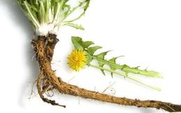 Loại cỏ dại mọc bờ mọc bụi chữa đủ bệnh mà người Việt vẫn chưa biết tận dụng