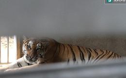 Hổ nuôi nặng 120kg ở Bình Dương cắn chết người chăm sóc