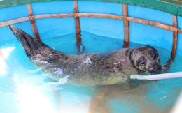 Con hải cẩu quý hiếm nặng 35kg mới bắt được ở Quảng Nam giờ ra sao?