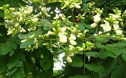 Chữa đau đầu khi thay đổi thời tiết với cây hoa hòe