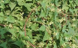 Thứ cây mọc hoang ở VN được ca tụng: Uống 7 ngày hết yếu sinh lý, uống 1 năm hết bệnh tật