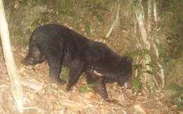 Rộ tin gấu rừng xuất hiện ở ngoại ô Nha Trang