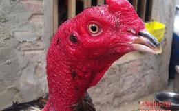 Cựu chiến binh nuôi gà chọi thu hàng trăm triệu đồng ở Đô Lương